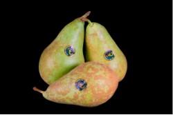 Compra Fruta de Temporada | PERA CONFERENCIA | FrutasNieves